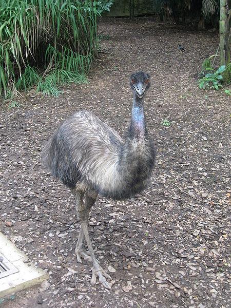 http://commons.wikimedia.org/wiki/File:Emu,_Jurong_BirdPark.JPG