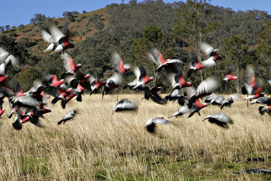 Galahs flying with a motion blur
