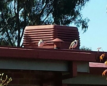 Masked lapwings foolishly hanging on the roof