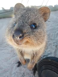Photo: smiling quokka (Fin Popper/Creative Commons)