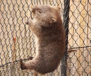Creative Wombat - Common Wombat (Vombatus Ursinus) / https://www.flickr.com/photos/53368913@N05/6850727567/