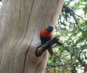 rainbow lorikeet by michael