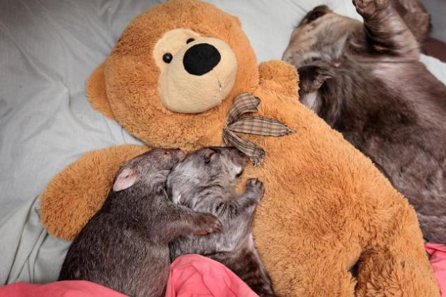 Some wombats cuddling a teddy from news.com.au