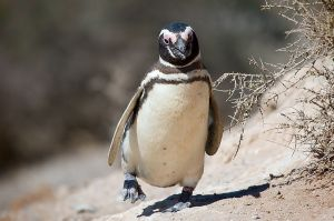 Photo of a Magellanic penguin by David via Wikimedia Commons